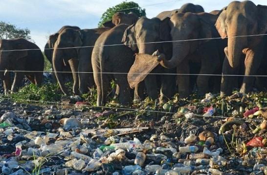 gajah-makan-sampah